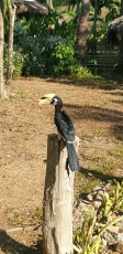 These beauties were everywhere! Oriental Pied Hornbill